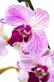 stock photo of wispy  - Color Orchid. Beautiful orchid in white background