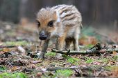 stock photo of wild hog  - Piglet of wild pig in the clearing - JPG