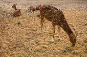 stock photo of bambi  - The Young spotted deers eating a hay - JPG