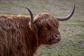 stock photo of highland-cattle  - Highland cow turning and facing the camera - JPG