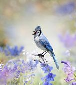 image of blue jay  - Blue Jay Perched In The Garden - JPG