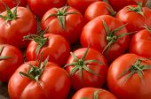 foto of vines  - red tomatoes background - JPG