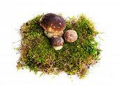 stock photo of boletus edulis  - Three mushrooms Boletus edulis  - JPG