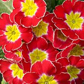 stock photo of primrose  - Close up overhead view of a cluster of colorful red and yellow primroses heralding the start of the new spring season - JPG