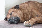 picture of stray dog  - Thai Stray Dog Sleep - JPG