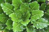 stock photo of beet  - Sugar beet plants in a field on a farm - JPG