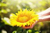 pic of sunflower  - Beautiful sunflower in hands on sunny nature background - JPG