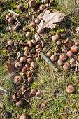 stock photo of acorn  - Closeup of fallen twigs leaves and acorns on the ground in the forest on a sunny day in winter - JPG