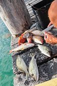 stock photo of catch fish  - Cleaning just catched fish on wooden pier closeup - JPG