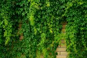 pic of climbing wall  - Stone wall overgrown with green leaves climbing plant - JPG