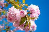 image of sakura  - Sakura tree blossoms in spring against a blue sky - JPG