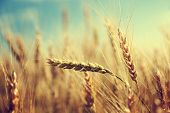 stock photo of fall-wheat  - golden wheat field and sunny day - JPG
