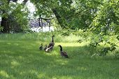 stock photo of mother goose  - Canada Geese and Goslings in high grass heading towards a large body of water - JPG