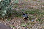 stock photo of quail  - California valley quail in the Nevada desert early spring time - JPG