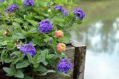 picture of lantana  - colorful Lantana camara flowers in garden under sunshine - JPG