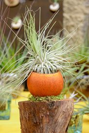 foto of tillandsia  - Nice composition of Tillandsia species of evergreen perennial flowering plants in the family Bromeliaceae native to the forests mountains and deserts of Central and South America the southern United States and the West Indies - JPG