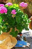 stock photo of plant pot  - Pot of geraniums flowers with gardening tools - JPG