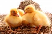 three yellow fluffy ducklings sleep poster