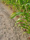 Corn And Drought