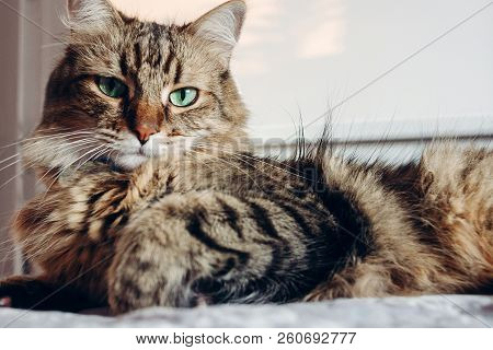 poster of Beautiful  Maine Coon Cat With Green Eyes Resting On Soft Bed In Sunny Evening Light. Tabby Fluffy C
