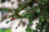 The Yew (taxus) Is An Evergreen Shrub Or Tree, Easily Identifiable By Its Unique Red Berries Associa poster