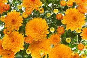 Closeup of vibrant auburn Chrysanthemums bouquet on white - suited as background poster