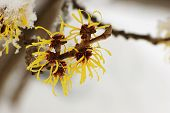 stock photo of molly  - Snow covered hamamelis mollis blossoms in winter month - JPG