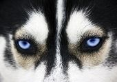 picture of wolf-dog  - Close up on blue eyes of a dog - JPG