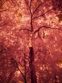 Infrared Fine Art Photography : Tree , Leaves , Forest poster
