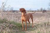 foto of vizsla  - A Vizsla dog stands in a field in autumn - JPG