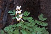Regrowth Of A Dutchmans Breeches poster