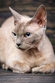 Pure-bred Devon Rex Cat Portrait On Derk poster