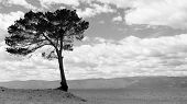 Lonely Tree On Bay. View Of Alone Pine Tree On Shore Of Lake Baikal, Russia. Scenic Beach Along Gulf poster