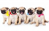 image of pug  - Five puppies of pug - JPG