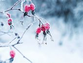 Juicy Red Rosehip Berries Hanging In The Winter Garden Covered With White Fluffy Snowflakes poster