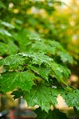 Beginning Of Autumn.dry Leaves, Rain, Outdoor poster