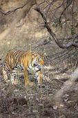 stock photo of tigress  - The stalking tigress - JPG