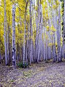 foto of colorado high country  - Aspen stand in Fall Colorado high country - JPG