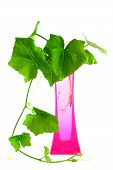 stock photo of citronella  - Plants in a pink vase isolated on white backgroung - JPG