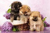 pic of miniature pomeranian spitz puppy  - spitz puppy and flowers  lilac - JPG