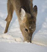 Starving Deer poster