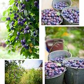 image of plum fruit  - Plum harvest collage - JPG