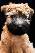 Irish Soft Coated Wheaten Terrier poster