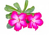 image of desert-rose  - Desert rose or Ping Bignonia on white background - JPG