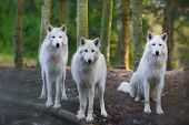 stock photo of white wolf  - Three beautiful white wolfs looking directly into the camera