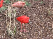 picture of scarlet ibis  - red ibis searching for food and its an team effort too - JPG
