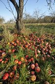 Windfall Apples
