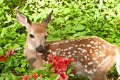 picture of incredible  - A Baby Deer eating flowers in the garden - JPG