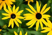 stock photo of black-eyed susans  - Fun floral background: yellow daisies or black-eyed Susan Rudbeckia hirta