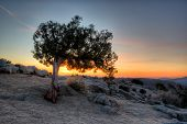 picture of juniper-tree  - Juniper tree silhouetted against sky at sunrise - JPG
